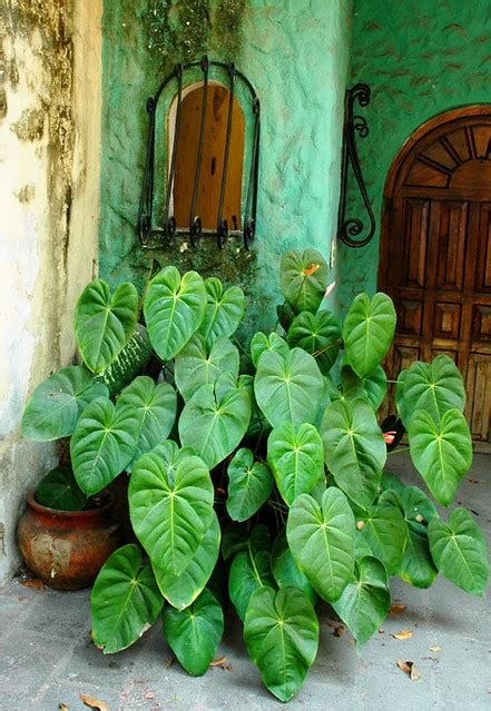 Mexican potted shade plant in the shadow of a doorway